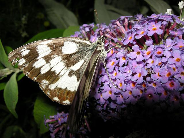 Deuil papillon