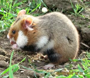 Cricetus cricetus, ou grand Hamster d'Alsace. Source : Wikipédia