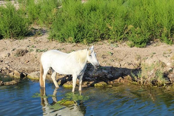 Cheval camargue utilisé pour les randonnées équestres